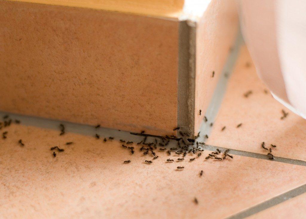 Ants pest